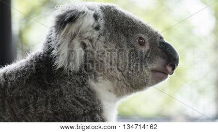 Koala Bear Embracing Tree Trunk