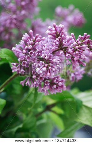 Closeup of purple lilac twig against green leaves background