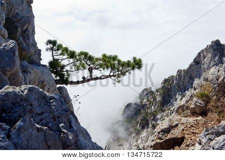 pine on a rock in the clouds and fog. Crimea, Ukraine.