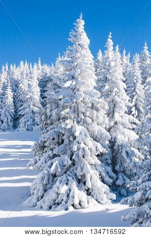 Vibrant winter vacation background with pine trees covered by heavy snow against blue sky