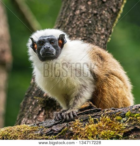 Portrait of an adult Pied Tamarin on the tree, The Netherlands