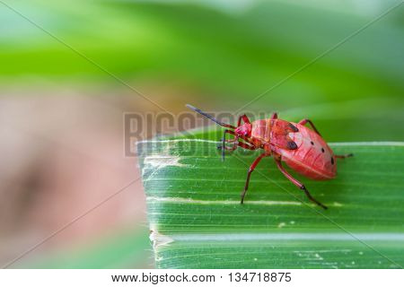 a red shield bug on nature background