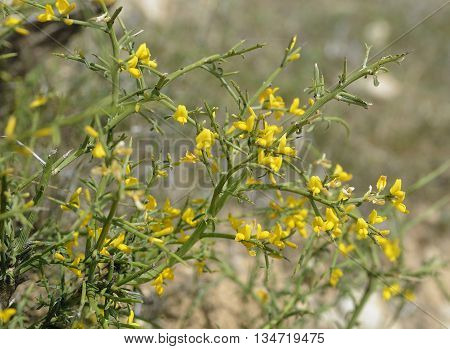 Genista fasselata Yellow Spiny Shrub from Cyprus