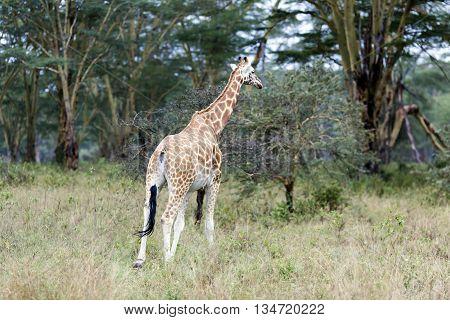 African giraffe in the meadows of the savannah on a rainy day in Tarangire National Park, Tanzania.