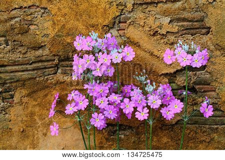 Lunaria Annua Purple flowers on yellow wall background