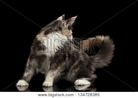 Playful Maine Coon Cat Looks at his Tail Isolated on Black Background