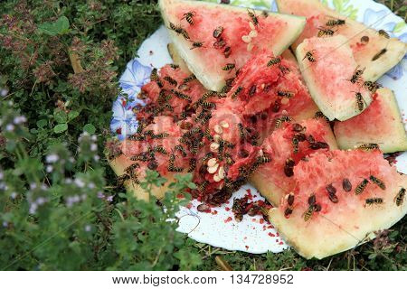 Swarm of wasps eating a watermelon in the summer garden
