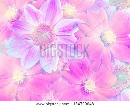 Floral background. Colorful autumn flowers dahlias. pink