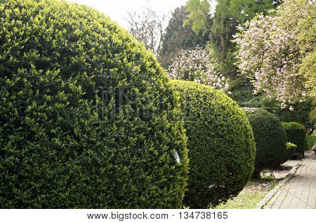Ball trimmed boxwood bushes growing along the footpath