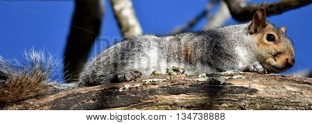 Close up of a Squirrel in a dead tree