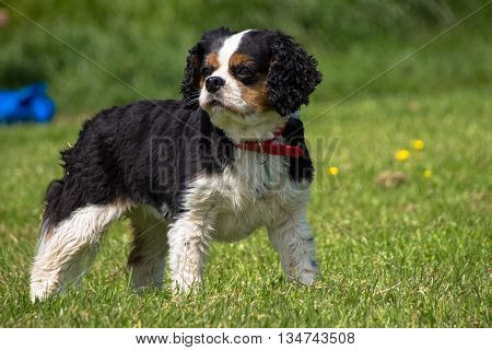 Female tricolor Cavalier King Charles Spaniel local park Liverpool Merseyside