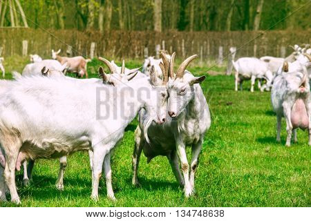 Organic farm - white goats in the countryside