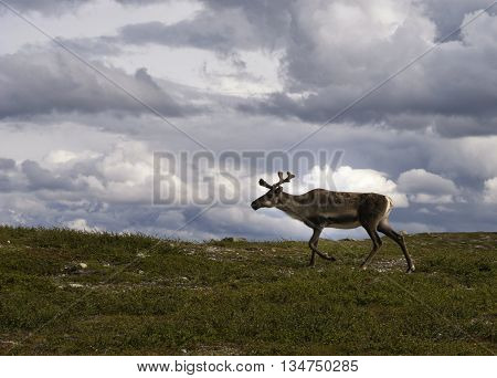 Reindeer on the Swedish mountain plateau Flatruet near Funasdalen