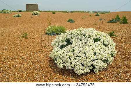 Crambe maritima common name sea kale, seakale,  crambe or Sea cabbage on beach with Martello tower in background.