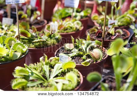Carnivorous Plants Dionaea muscipula in pots on the outdoor market