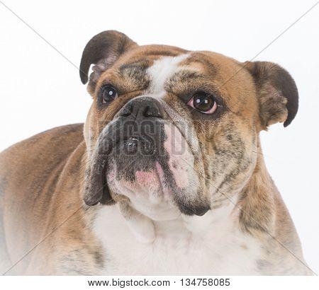 english bulldog portrait isolated on white background