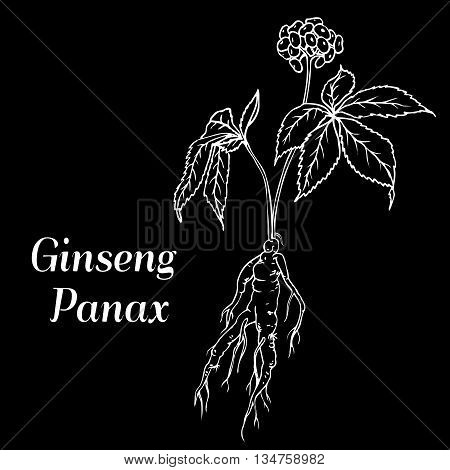 Root and leaves panax ginseng. Vector black and white engraving vintage illustration of medicinal plants. Biological additives are. Healthy lifestyle