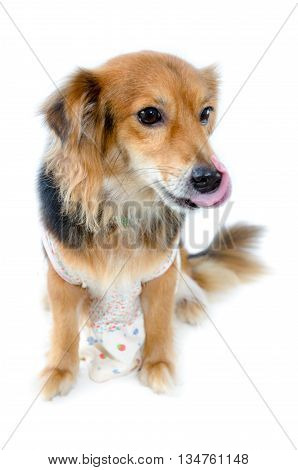 Beautiful dog with black brown wear clothing sitting with hungry on isolated white background