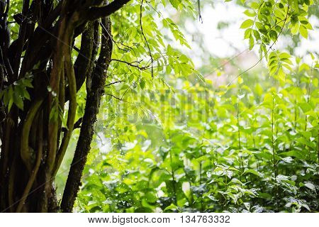 pouring Rain drops with green natural plants background