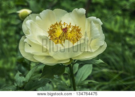 The large white flower of peony in the garden on a green background.