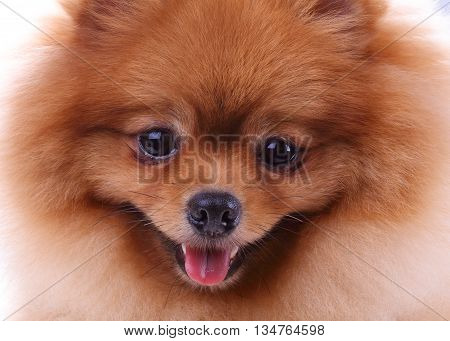Brown Pomeranian Dog, Cute Pet In Home