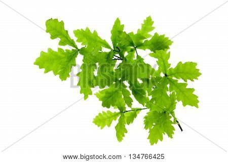 Oak leaves on white background.Tree branch isolated.T