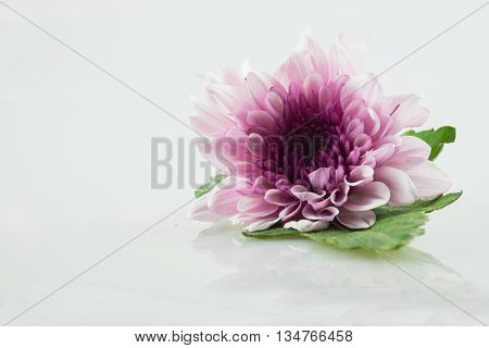 pink purple white daisy flower on isolate background text word on background closeup view pretty daisy fresh daisy