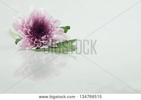 pink purple white daisy flower on isolate background text word on background and green leaf