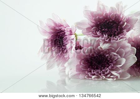 pink daisy flower purple daisy flower white daisy flower on isolate background text word