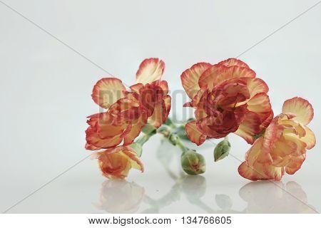 orange yellow carnation flower on isolate background text word on background