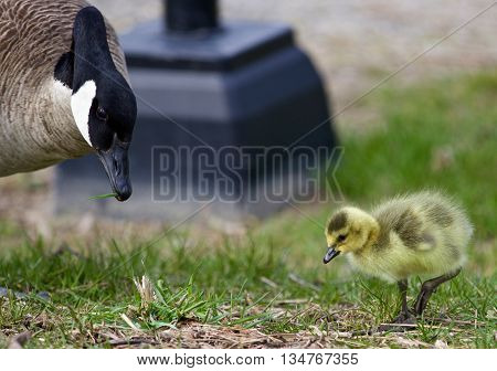 Beautiful image with a chick of the Canada geese and his mom on the grass