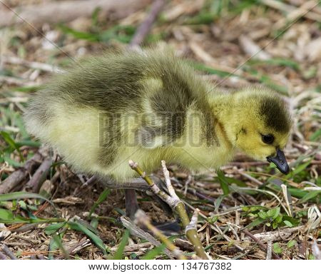 Beautiful isolated photo with a chick of the Canada geese