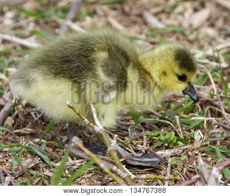 Beautiful isolated picture with a chick of the Canada geese eating the grass