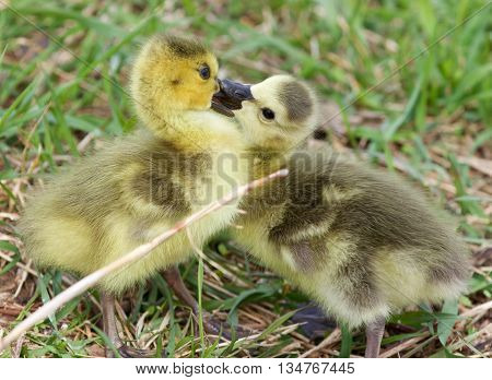 Funny photo of kissing young cute chicks of the Canada geese