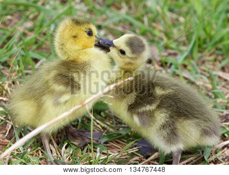 Funny beautiful photo of kissing young cute chicks of the Canada geese