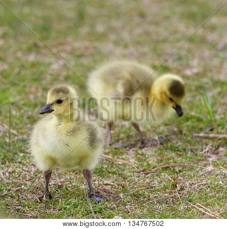 Isolated image with two cute chicks on the grass