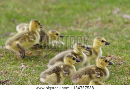 Backgound with the chicks of the Canada geese on the grass field