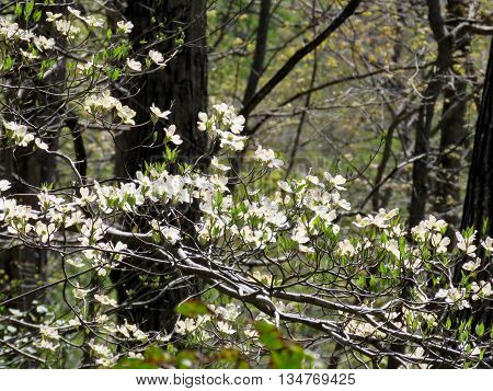 Dogwood flowers in forest on the banks of the Potomac River near Washington DC 18 April 2016 USA