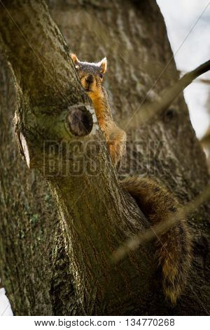 One brown squirrel peeks around tree limb