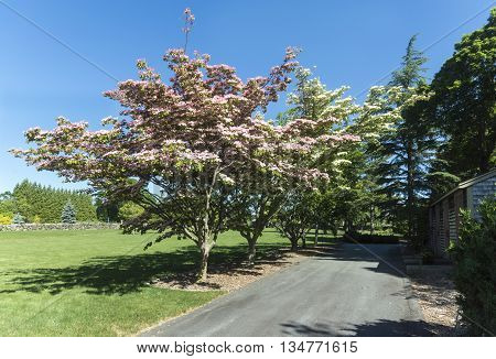 Chinese Fringe Tree blossoming in mid-June at Haskell Gardens in New Bedford Massachusetts