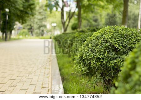 Lined bushes and walkway in the park