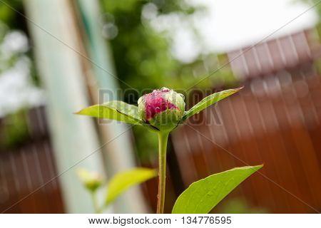 The buds of peony flowers. Season of flowering peonies. Pink peony buds before opening.