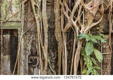 Ancient  Overgrown  Temple Ruins , Angkor Wat