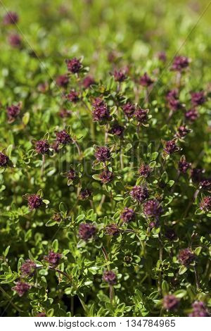 Thyme(Thymus vulgaris) plant growing in the herb garden.Thyme is an evergreen herb with culinary, medicinal, and ornamental uses.