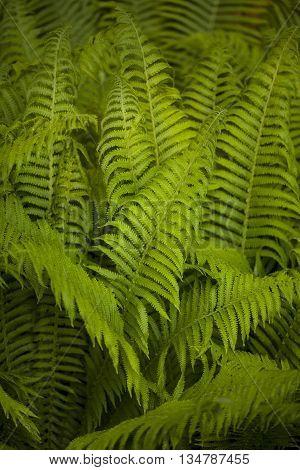 Dryopteris plant (Wood fern, Male fern) in a forest.