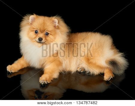 One red Pomeranian spitz lies on black isolated background