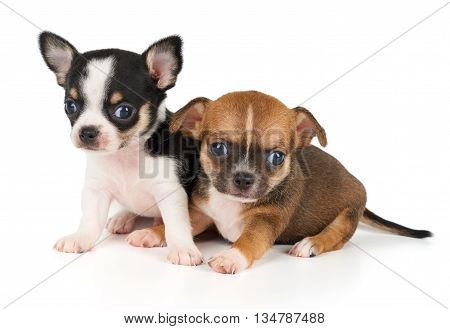 Two puppies of Chihuahua isolated on white