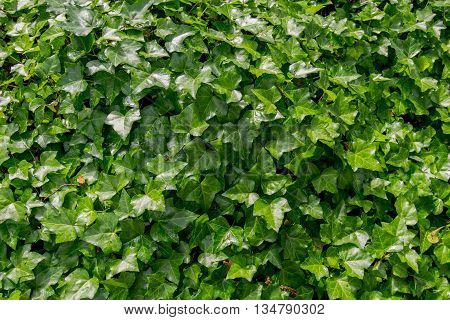 Green Ivy Texture wide shot background image