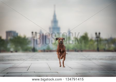 Rhodesian Ridgeback Dog on the wall, Moscow in Russia