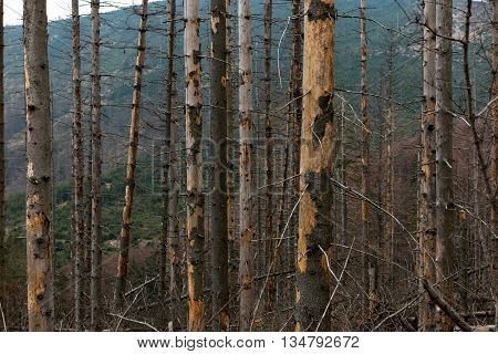 Withered coniferous forest in the mountainous terrain Beskid Slaski Skrzyczne area Poland